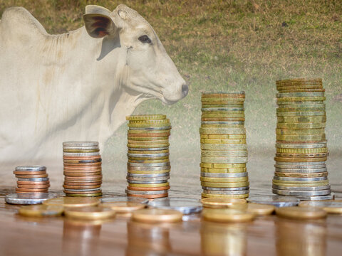 double exposure of Nellore cattle and pile of coins. Concept of financial growth in agribusiness. blurred background.