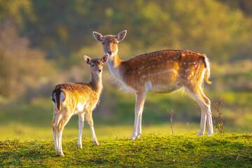 Fallow deer fawn Dama Dama in Autumn