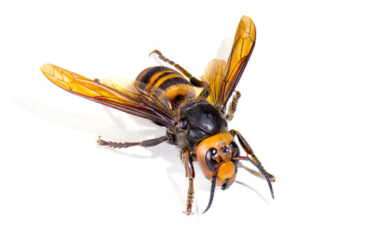 """Asian giant hornet on white background. The world's largest hornet known as horrible """"murder hornet""""."""
