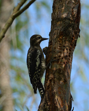 Yellow Bellied Sapsucker perched in a tree