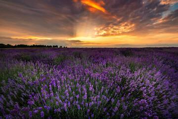 Printed kitchen splashbacks Eggplant Beautiful lavender field sunset landscape