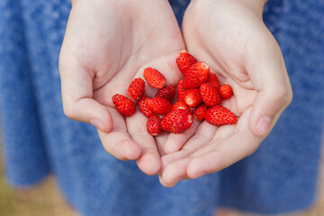 a girl holds red sweet strawberries crop in her hands