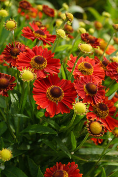 Vertical closeup of the red flowers of 'Mariachi Salsa' helenium (Helenium 'Mariachi Salsa'), also known as sneezeweed or Helen's flower