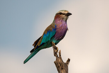 Tuinposter Lilac Rollier à longs brins,. Coracias caudatus, Lilac breasted Roller