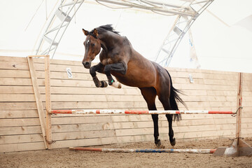Photo sur Plexiglas Chevaux old trakehner horse jumping obstacle in summer