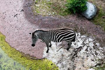 Printed kitchen splashbacks Zebra Zebra from above with an interesting colorful ground