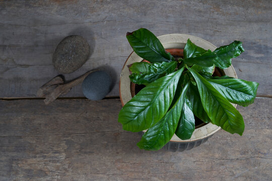 Ayahuasca ingredient, chacruna (Psychotria viridis) plant in a pot on a wooden table against a black background