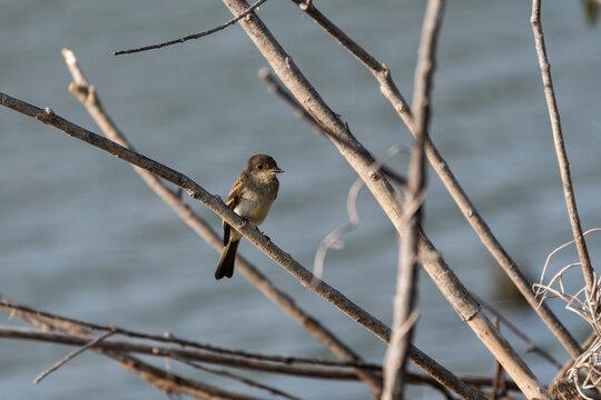 Acadian Flycatcher sitting in tree by lake