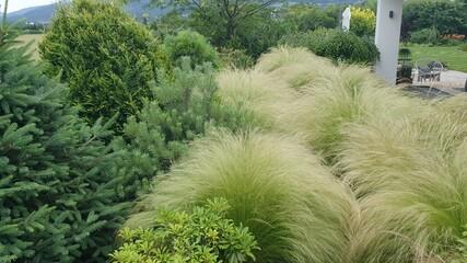 Obraz Ostnica piekna trawa w ogrodzie - fototapety do salonu