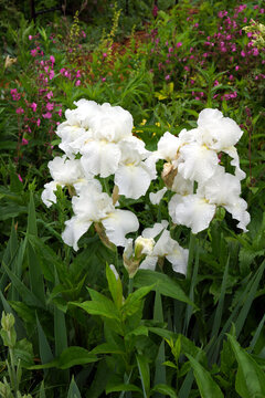Vertical image of 'Immortality', a reblooming bearded iris hybrid, in a garden setting