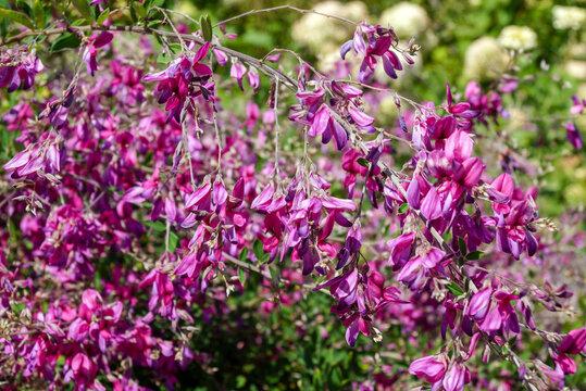 Horizontal image of 'Gibraltar' Japanese bush clover (Lespedeza thunbergii 'Gibraltar') in flower