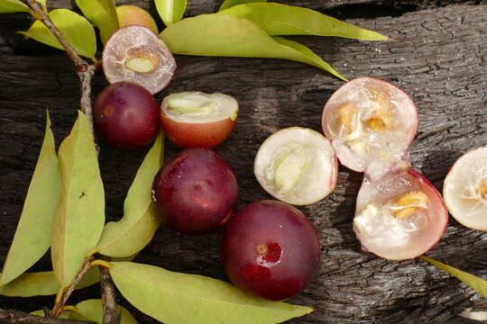 Ripe Camu Camu fruits on branches, also called CamoCamo or Cacari (Myrciaria dubia). The fruits are partly cutted through. The plants are rare and are growing near Manaus, Brazil.