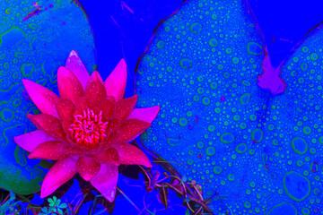 azores; sao miguel island; furnas : terranostra garden : lily