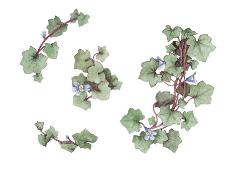 Isolated kenilworth ivy flower and leaf watercolor painting