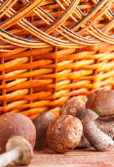 Mushrooms. Freshly picked edible Birch Mushroom and basket on wooden background. Forest harvest. Selective focus