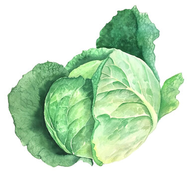 Green cabbage vintage watercolor botanical illustration isolated on a white background