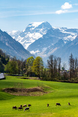 bucolic view of the swiss alps in the canton of Glarus, with Mount Todi, green pastures and cows