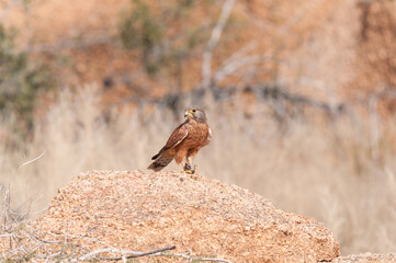 Rock Kestrel with its prey, an armoured ground cricket