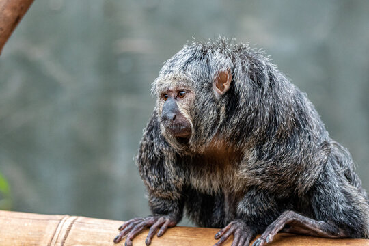 Female Saki Monkey at Furuvik Zoo