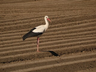 White stork (Ciconia ciconia) standing on an empty field, Poland