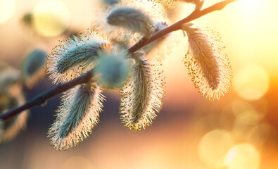 Fotoväggar - Pussy willow with open fluffy yellow buds over sunset spring nature background. Blooming spring willow flowers backdrop, Close-up. Easter art design