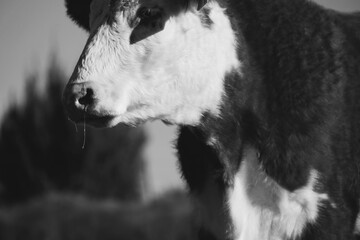 Wall Mural - Hereford cow shows farm animal close up in black and white.