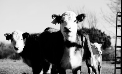 Wall Mural - Group of young Hereford calves on beef farm in black and white.