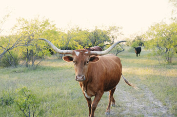 Wall Mural - Texas longhorn cow on farm during summer close up.