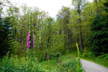 Blumen im Wald Fingerhut und Nachtkerze