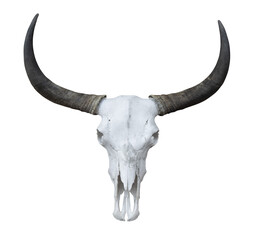 Buffalo head skeleton with long horns isolated on white background