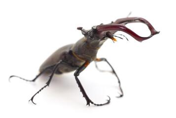 Bug (Oryctes Nasicornis).