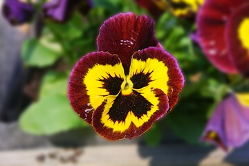 Foto op Canvas Pansies Purple and yellow garden pansy