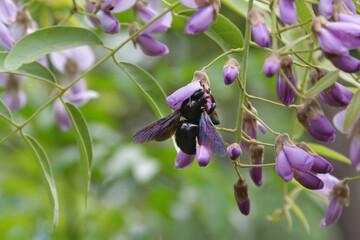 Blaue Holzbiene saugt an Blüte - Xylocopa violacea - Wildbiene - Biene