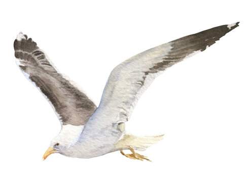 A flying seagull hand drawn in watercolor isolated on a white background. Watercolor illustration. Watercolor seagull