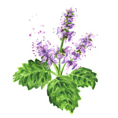 Plant patchouli or Pogostemon cablini branch with flowers and leaves, Hand drawn watercolor illustration isolated on white background