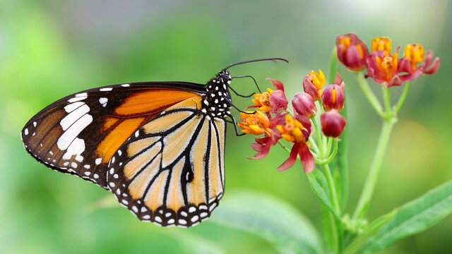 elegant orange monarch butterfly resting on multicolored flowers. macro photography of this gracious and fragile Lepidoptera in a tropical botanical garden in Chiang Mai, Thailand