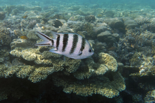 Scissortail sergeant (Abudefduf sexfasciatus) in Red Sea