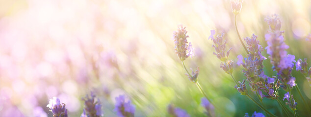 Poster Lavender Summer floral landscape; beautiful summer lavender flower against evening sunny sky; nature landscape background.
