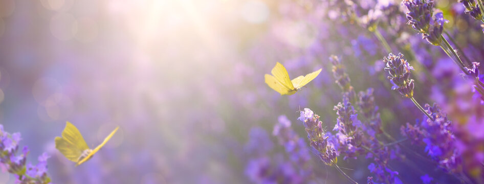Art Summer floral landscape; beautiful summer lavender flower and fly butterfly against evening sunny sky; nature landscape background.