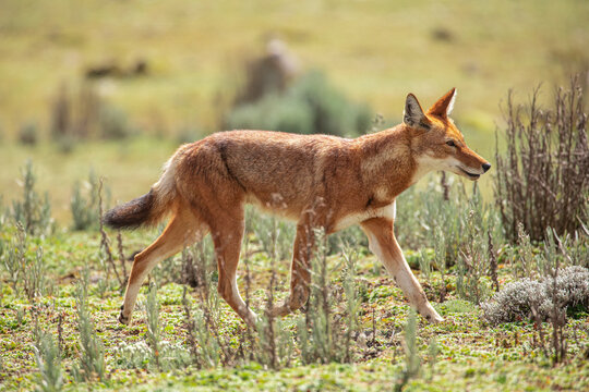 Side view of wild Simien jackal with red fur walking along savanna with green grass