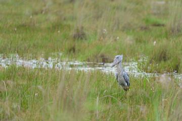 Shoebill (Balaeniceps rex) in a marsh