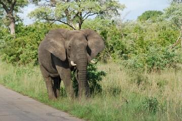 Wedrujacy słoń karmiący się trawą w parku narodowym Krugera w RPA w Afryce