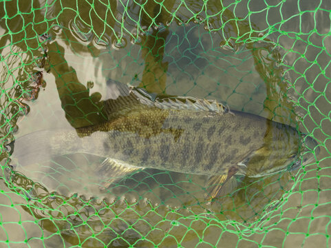 Smallmouth bass underwater in fishing net