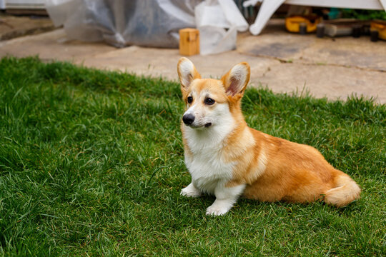 A red-haired dog with large ears of a corgi breed in the summer garden near the house on the green grass smiles. Summer. Dog. Corgi. Garden.
