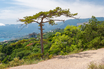 Spring landscape with Lonely pine tree on pedestrian path in Cape Martyan natural reserve, Crimea, Black Sea shore, Ukraine