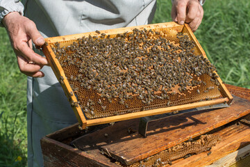 The beekeeper holds in his hands a honey frame covered with bees. Bee care in the apiary.