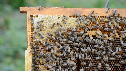Wall Mural - Work bees in hive. Bees convert nectar into honey and cover it in honeycombs. Beekeeping.