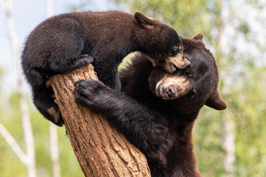 Baby black bear playing in the tree