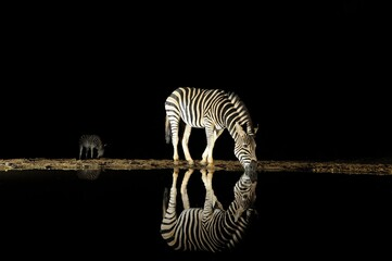 Fotobehang Zebra ZEBRA (equus burchelli) drinking from a waterhole at night in the Zululand bushveld, south africa