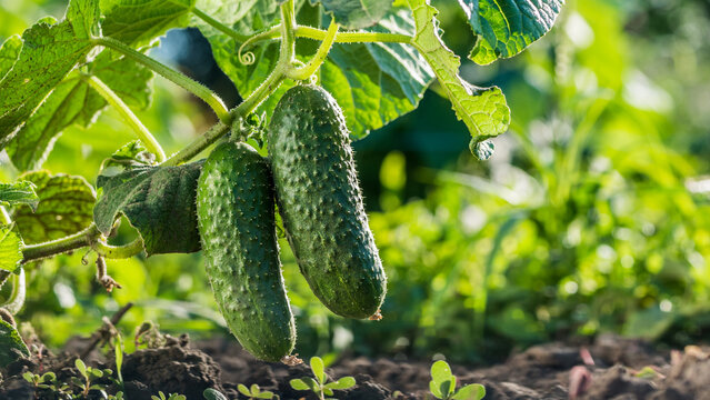 Two cucumbers ripen on a bed in the sun